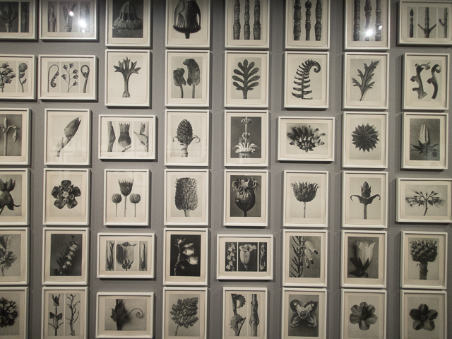 Karl Blossfeldt, Arts form in Nature, 1928. Från utställningen Time and Again: Photography from The Walther Collection på Fotografiska